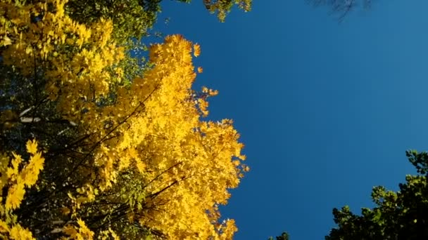 Yellow maple in autumn on a blue sky, camera rotation, slow motion copy space