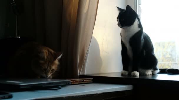 Černá kočička vid