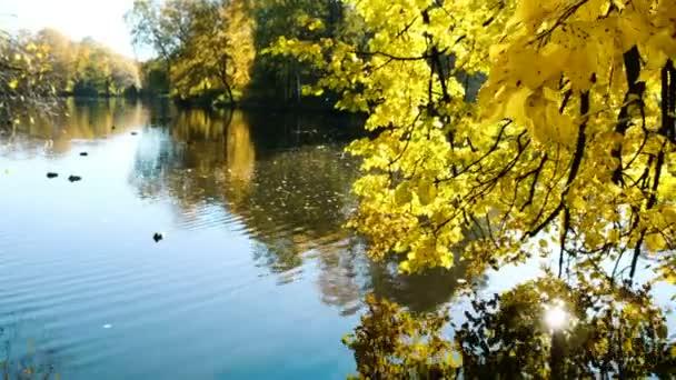 Gelbe Blätter der Erle spiegeln sich im See, goldener Herbst