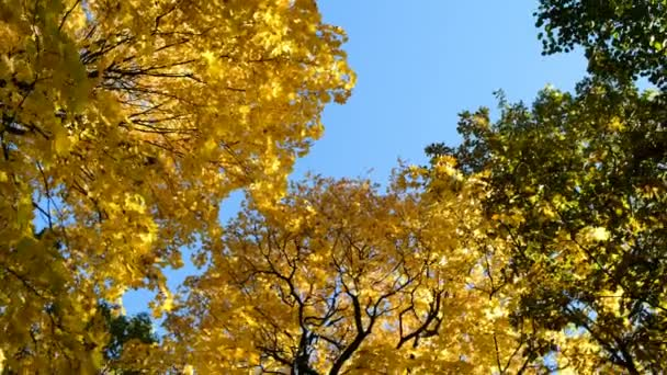 Yellow and green maple trees in fall on a blue sky, camera rotation, copy space