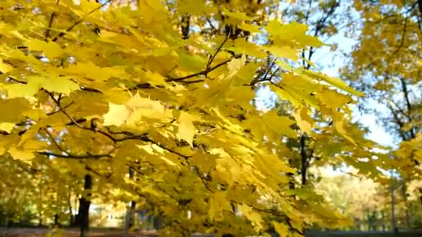 Yellow maple leaves swaying in the wind in the park close up