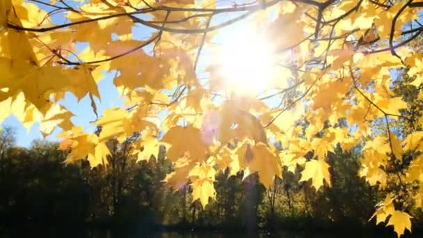 Sun shines through the yellow maple branch leaves against the lake