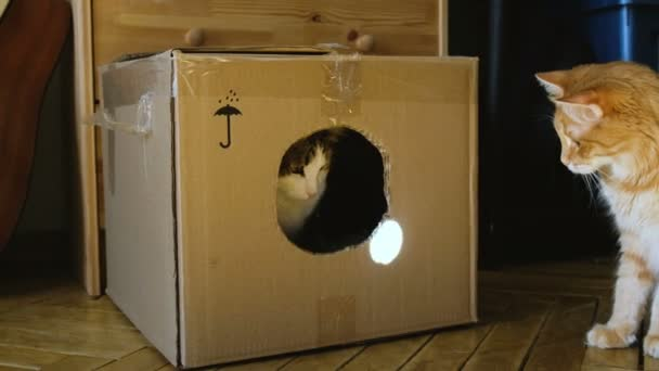 Cats play with the sunbeam from the mirror in a cardboard box, the cat slaps the second cat, two pets play at home