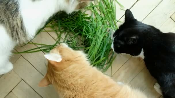 Three cats eat fresh green grass