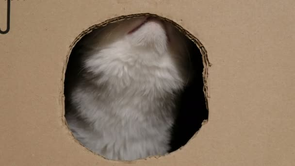Funny cat gnaws a cardboard box with a hole and looking at the camera