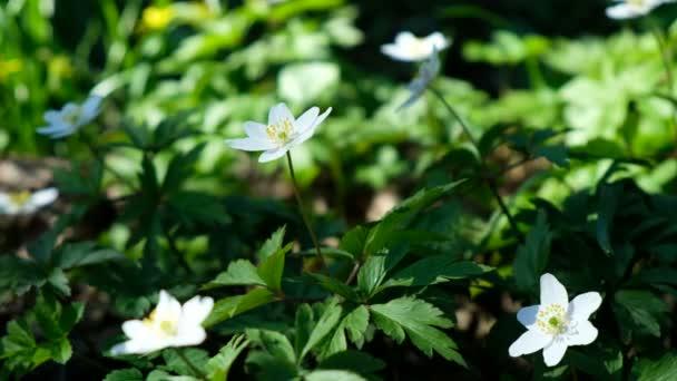 Květy sněženky kvetly na jaře v parku za slunečného dne