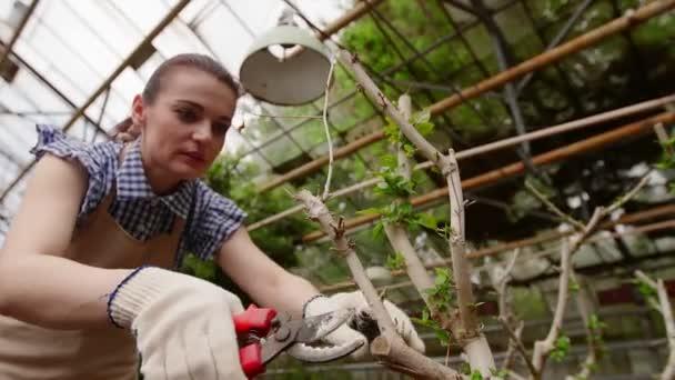 Női kertész metsző ollóval a kezében gondoskodó fa. Kertészkedés az üvegházban.