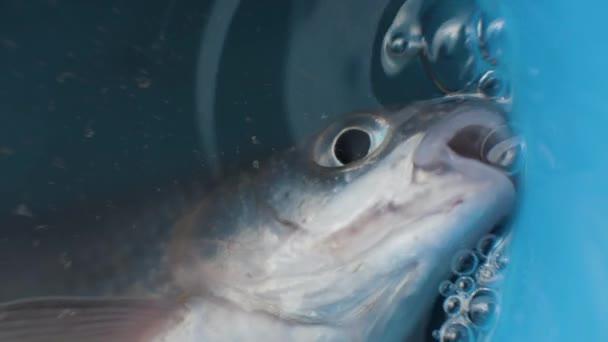 gefangene Fische im Eimer liegend mit Wasser und atmendem Mund aus nächster Nähe