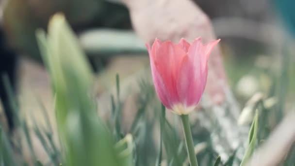 Zahradníka žena pomocí zalévání květináč pro nalévání vody kvetoucí Tulipán v zahradě