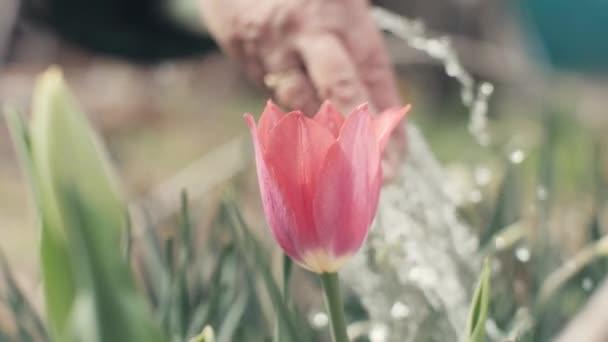 Starší žena ruku při zalévání kvetoucí Tulipán na záhonu na zahradě