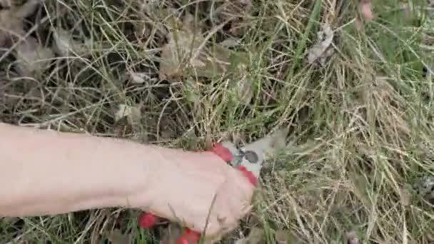 Rukou zahradníka žena pomocí zahradnické nůžky pro řezání suché trávy na zahradě