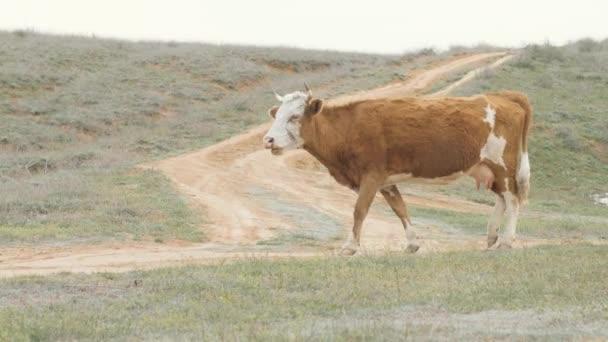 Dairy cow walking green field in livestock farming. Milk cow grazing on pasture