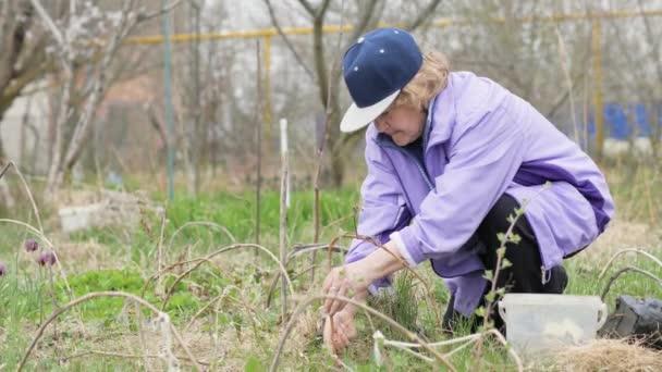 Felnőtt nő Kertész ültetési gyümölcs bush udvarban kerti munka közben
