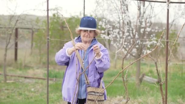 Zahradníka žena tie pobočka ovocný strom při práci v jarní zahrádka