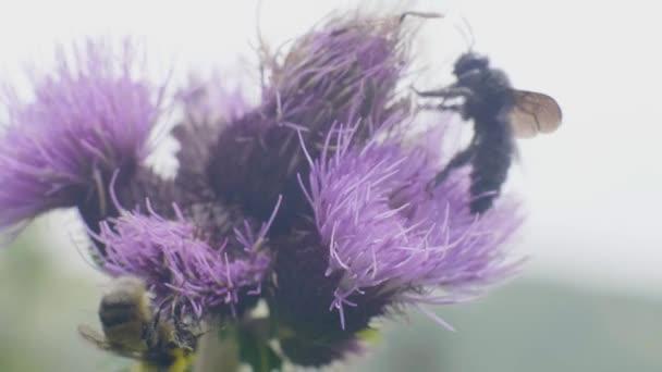 Včela opyluje květ a sbírají nektar na letní louku zblízka