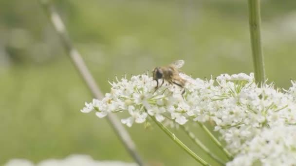 Zlato sbírat pyl na letní květ zblízka