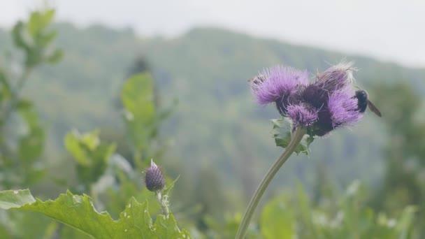 Včelí med létání a opylujících květiny na louce v létě zblízka