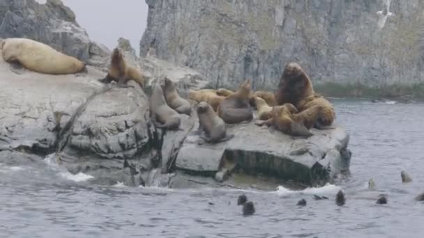 Nyáj oroszlánfókák ül a sziklás szigeten, és úszás óceán víz.