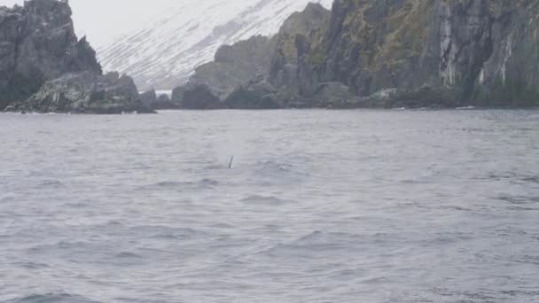 Wild killer whale swimming in ocean water on snowy mountain and cliff landscape