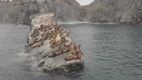 Sea lions flock lying on rocky island in ocean water aerial view from drone