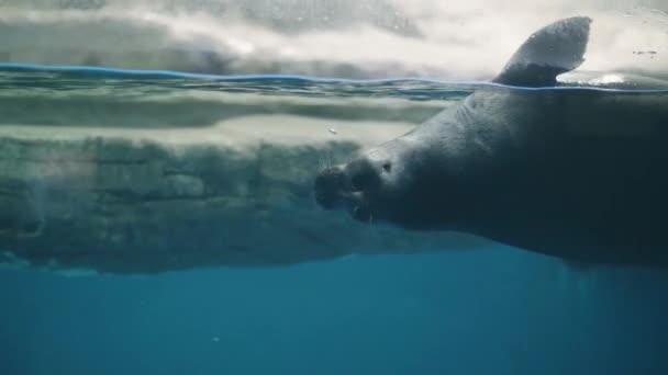 Niedliche Seebär unter Wasser im Ozeanarium. Beobachtete Dichtung im Ozeanarium Wasser