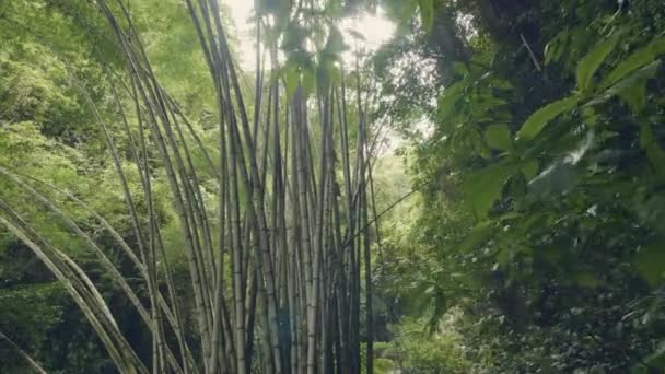 Bamboo trees in rainforest on background green tropical plants. Wild bamboo thickets in jungle forest. Tropical forest landscape.