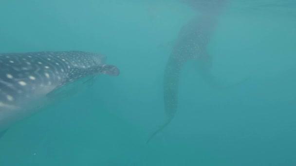 Kék tengerben úszó víz alatti kilátás cetcápa közelről. Vad óceán természetvédelmi úszás cetcápa. Vadon élő tengeri állatok és a tengeri élet.