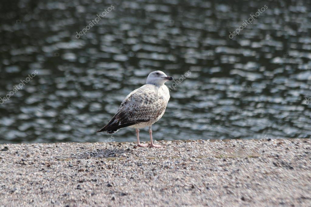 Seagulll waiting on the edge of the water on the Lange Vijverberg in The Hague to wait on tourist who drops food