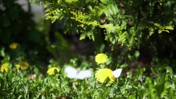 Motýli a flowersslow motion video zelí motýlů (Pieris brassicae/madeirské velké bílé) přistání na žlutá Pampeliška/Pampeliška, pak létající z rámu