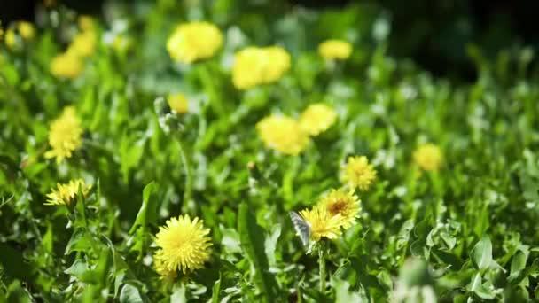 Pillangó repülő virág, a flowerslow jelet ad video-káposzta pillangó (Pieris brassicae/madeirai nagy fehér) közlekedő egy sárga dandelion/taraxacum virág egy másik
