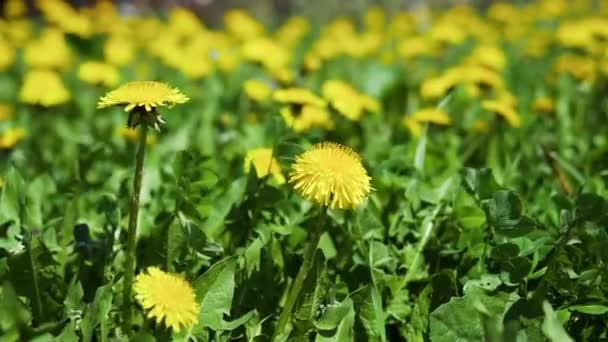 Virágok/virágok/florets helyezi a windyellow pitypang/taraxacums helyezi a szél