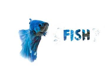 Aquarium  Blue Betta Fish isolated on white background