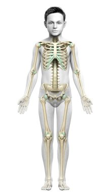3d rendered, medically accurate illustration of a young boy skeleton system