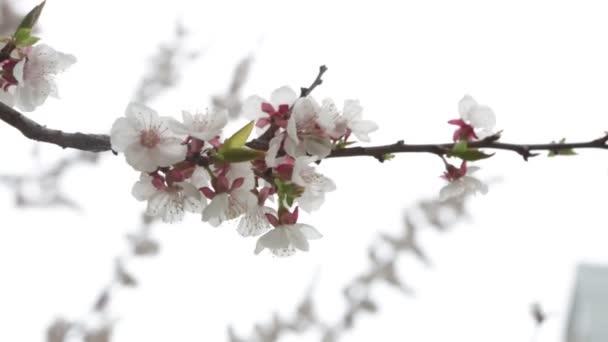 Virágzás fák kert tavaszi gyümölcs virágok, virágzó cseresznye szilva Apple Peach, virágok a szél