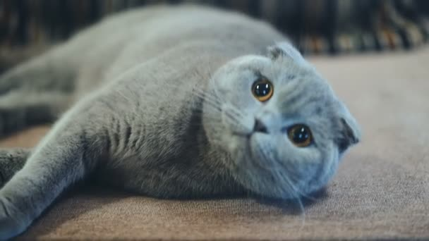 Very beautiful British cat is lying on the sofa at home. Concept of pets.