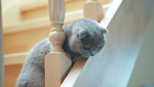 Elegant British shorthair cat is sitting on the stairs. Concept of pets. Scottish Fold Cat.