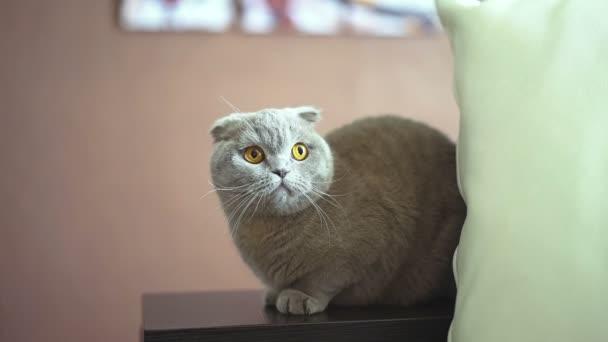 Britská krátkosrstá kočka. Modrý skotský zběsilého útoku kočka