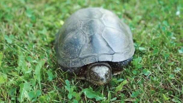 A friss, zöld fű mozgó teknős