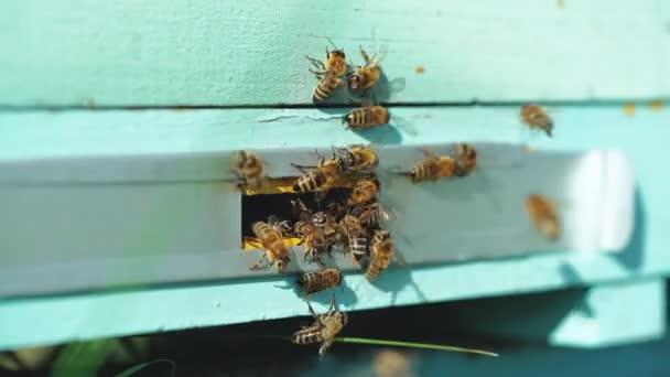 Méhek a kaptár közlekedő. Csalánkiütés méhészt, a dolgozó méhek repül a partra táblák.