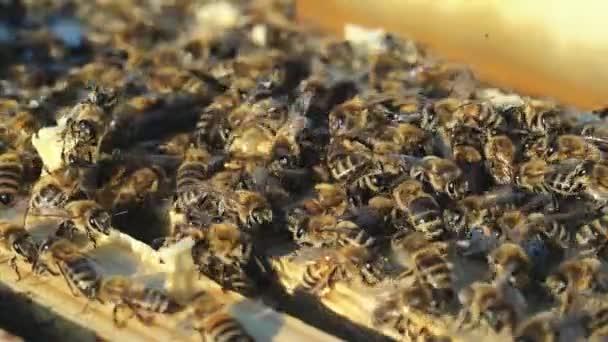 Včely nektar převést medu. Pracovní včely na plástve. Detail