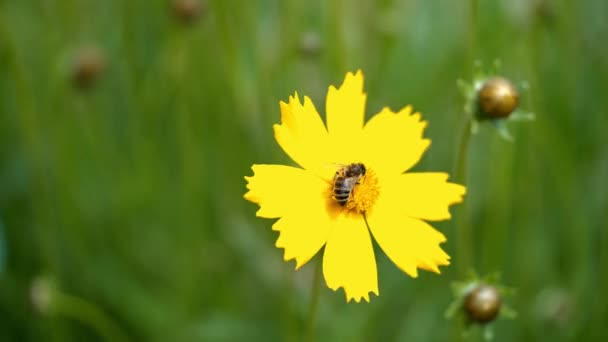 Honey bee collecting pollen on a bright yellow flower. Yellow daisy