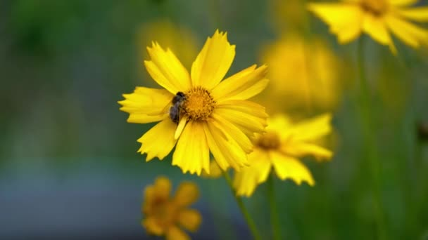 Med včelí na zářivě žlutý květ. Coreopsis