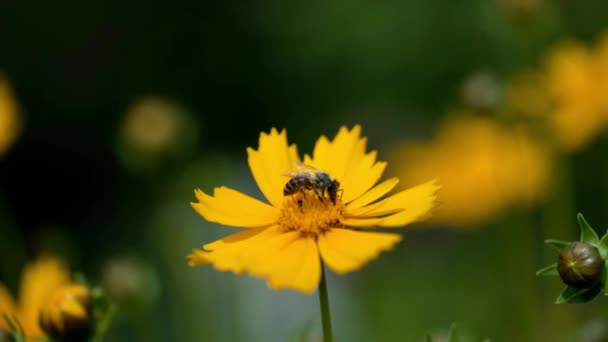 Bee close-up collects pollen on a bright yellow flower of coreopsis. Lance-leaved tickseed flowers