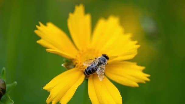 Krásné žluté Coreopsis auriculata květiny v zahradě. Letní květiny