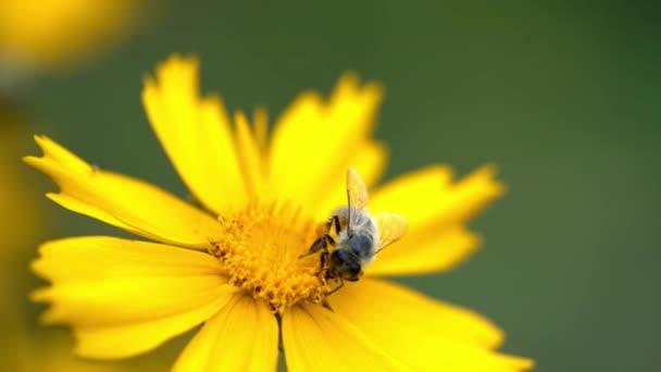 Coreopsis. Květina s bee, opylení