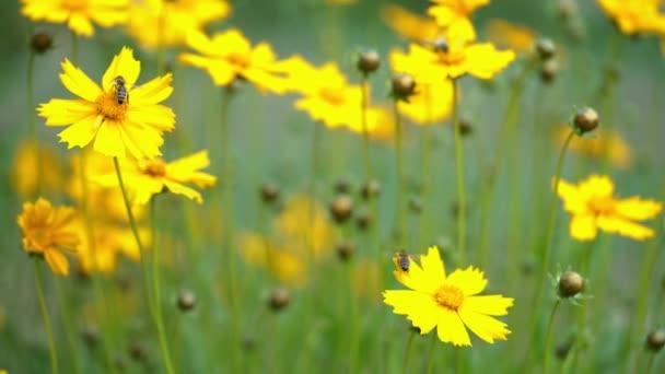 Žlutý květ Coreopsis. Letní květiny