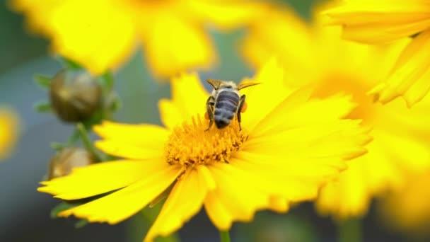 Včela na žluté květině sběru pylu a sběru nektaru na výrobu medu v úlu. Coreopsis