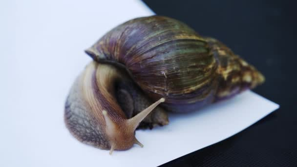 Giant African land snail. Achatina fulica in front of white background