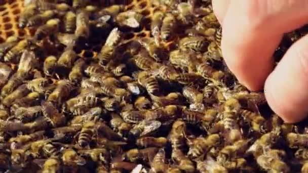 Méhész dolgozik a méhek és a méheket beleértve a méhészet. Méhek a méhsejt. Keretek a méh kaptár. Lassú mozgás