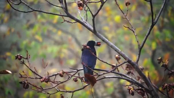 Schwarze Krähe auf Walnussbaum. Krähe sitzt auf einem Ast mit etwas Futter im Mund. Schwarzer Vogel fliegt im Herbst mit Walnuss im Schnabel davon.